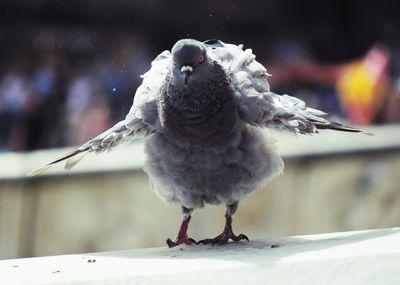 Italian pigeon